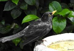 More Water Please (Eleanor (No multiple invites please)) Tags: blackbird maleblackbird birdbath garden stanmore uk nikoncoolpixp900 june2018