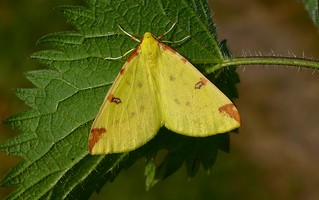 Brimstone moth -Pembs Wales (1) - Explored