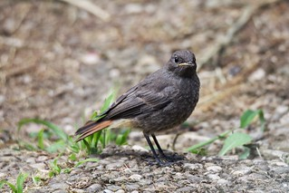 Hausrotschwanz / Black Redstart