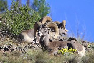 Big Horn Rams.