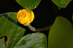 The Yellow Dot (Alfred Grupstra) Tags: nature plant flower petal leaf flowerhead greencolor beautyinnature waterlily closeup yellow botany summer singleflower macro blossom lotuswaterlily pond outdoors water yellowwaterlily