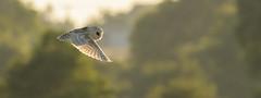 Down beat (Stickyemu) Tags: wildlife nature owl barnowl birdofprey sunset bfi flight flying countryside hunting suffolk d500 nikon nikon200500mmf56