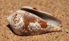 Cone snail (Pionoconus nigropunctatus f. elatensis) under side (shadowshador) Tags: cone snail pionoconus nigropunctatus f cf var elatensis neomura eukaryota opisthokonta holozoa filozoa animalia eumetazoa bilateria protostomia lophotrochozoa mollusca conchifera gastropoda gastropod gastropods caenogastropoda caenogastropod caenogastropods neogastropoda neogastropod neogastropods conoidea conidae coninae conchology malacology invertebrate invertebrates taxonomy scientific classification biology sea snails shell shells sand sandy beach wildlife life jeddah makkah saudi arabia saudiarabia redsea