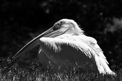 Great white pelican (Guy: Jussum Guy) Tags: greatwhitepelican birds honolulu zoo oahu hawaii pentax k3 blackandwhite monochrome