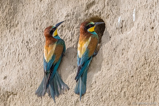 A pair of adult bee-eaters at nest entrance.