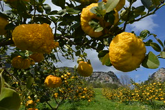 Presidio Slow Food Sa Pompia (Sardinia SlowExperience) Tags: slowfood sapompia agrume cytrus sardynia localfood traditionalproducts siniscola sardinia baronia visitsiniscola