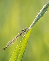 Une demoiselle bien accrochée (Titole) Tags: damselfly demoiselle green titole nicolefaton insect