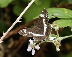 White Admiral (Muddywalters) Tags: whiteadmiral butterflies devon