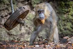 Focus Right Here (helenehoffman) Tags: africa conservationstatusvulnerable primate mammal baby sandiegozoo mandrillussphinx oldworldmonkey ajani kesi mandrill animal
