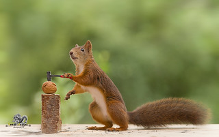 red squirrel holds a hammer with a walnut