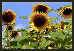 _52R3441A (Dream Delivered (Dreamer)) Tags: flower bee sunflower nature