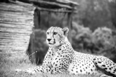 Cheetah in Black and White (zenseas) Tags: africa southafrica acinonyxjubatusjubatus plettenbergbay workingholiday rescued workingvacation acinonyxjubatus volunteer westerncape cheetah thecrags vacation sanctuary holiday tenikwa blackandwhite bw