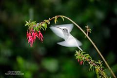 Leucistic Talamanca Hummingbird (www.NeotropicPhotoTours.com) Tags: talamancahummingbird eugenesspectabilis costarica juancarlosvindas neotropicphototours birdphotography birding rainforest rain forest leucistic flying juancarlosvindasphotography