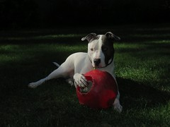River (bulldog008) Tags: river dog canine pit rescue adopt blue gray white mammal pet best friend puppy furbaby pitbull breed stout handsome outside portrait american staffordshire terrier cute love sweet canon sx60 yard lawn sx60hs