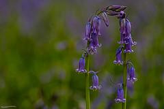 478.365-113 Bluebell Arch (ianbartlett) Tags: outdoor bluebells anemone tree light flowers macro nature wildlife