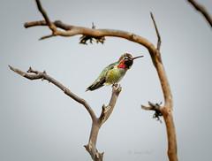 VIBRANT (Sandy Hill :-)) Tags: birds hummingbirds annahummingbirds anna vibrant colorful feathers iridecence nature dreery sandyhillphotography vancouverisland birdsofthepacificnorthwest birdsofvancouverisland birdsofcanada
