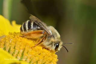 Dasypoda hirtipes Hymenoptera Melittidae