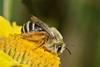 Dasypoda hirtipes Hymenoptera Melittidae (Nikos Roditakis) Tags: dasypoda hirtipes hymenoptera melittidae solitary bees greek fauna european cretan nikos roditakis nikon d5200 macro tamron af sp 90mm f28 heraklion crete