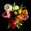Tulips , bouquet rainbow (STEHOUWER AND RECIO) Tags: tulips colours tulip colour flowers flower flora floral tulpen boeket kleuren kleur bloemen bloem red yellow purple white rood geel paars wiht green groen petals leaves leaf petal bladeren blad black zwart background achtergrond blackbackground flowerbouquet pov above stilllife