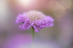 Stardust ✨🌸 #7DWF #Macro #WednesdayTheme (KissThePixel) Tags: macro wednesdaytheme wednesday 7dwf purple mauve lilac flower flowers bokeh pastel soft stardust pollen spring april garden mygarden cottage cottagegarden nikon 50mm f14