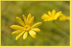 Daisies (Ken Mickel) Tags: beautiful colors floral flower flowers flowersplants kenmickelphotography plants yellow blossom blossoms capedaisy closeup daisy flora garden gardens nature photography