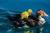 0418 DSC00854x (JRmanNn) Tags: muscovyduck duckling desertshores lasvegas