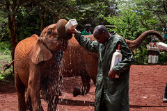 Thirsty (rgreen_se) Tags: africa gotmilk summer kenya safari forest people wildlife reaction green vacation tourism outdoor elephant