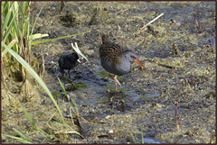 Water Rail (image 1 of 4) (Full Moon Images) Tags: woodwalton fen greatfen bcn wildlife trust nnr national nature reserve cambridgeshire bird mother chick water rail