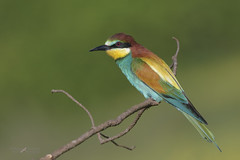 Gruccione (mauro.santucci) Tags: gruccione meropsapiaster uccelli uccello bird avifauna natura birdwatching wildlife wild