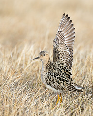 _V6A2661 (Tom Wilberding) Tags: alaska tundra arctic displaying tomwilberding male buffbreastedsandpiper