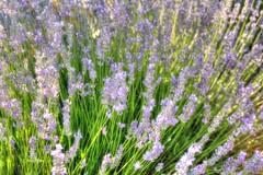 FESTIVAL DE LA LAVANDA (toyaguerrero) Tags: lavanda camposdelavanda lavenderfields guadalajara brihuega castille spain castillalamancha atardecer concierto