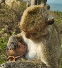 Motherly Love (Steve4343) Tags: steve4343 bangkok thailand ban saen motherly love monkeys monkey baby hugging holding hold hug