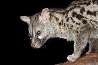 Gineta, Genet (Genetta genetta)