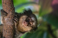 Callithrix - sAgUi (jacinto_udi) Tags: macaco lens lentes brasil goias parque monkey zoo canon 55250 mm eos kit