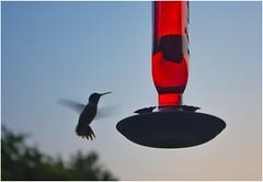 Hummingbird (jpclicks) Tags: bird hummingbird wings evening red feeder birdfeeder