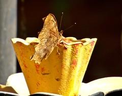 Comma Butterfly (nannyjean35) Tags: comma butterfly bird feeder