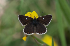 Northern Brown Argus (Tim Melling) Tags: aricia artaxerxes northern brown argus timmelling butterfly