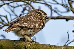 Wild Little Owl (Athene noctua) (DerekL1) Tags: littleowl sandon athenenoctua wild wildlife bird owl ngc staffordshire uk
