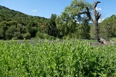 *Silybum marianum, MILK THISTLE. Dennis Martin house site. (openspacer) Tags: asteraceae invasive jasperridgebiologicalpreserve jrbp milkthistle nonnative silybum