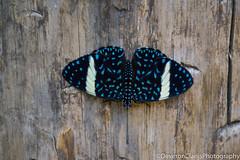 DSC_1062 (deveronclarijs) Tags: animals animal blijdorp dierentuin dieren dier diergaarde d5300 nederland nl nikon nikond5300 rotterdam zoo vlinder vlindertuin butterfly butterflygarden