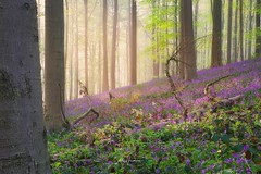 Escape to nature. (Jochem.Herremans) Tags: scenery tree beauty outside purple bluebells vlaanderen outdoors brabant wood day flanders wild landscape trees halle bluebell flowers white magic hallerbos common natural path early countryside sun leaves forest spring blue nature beech place scenic hyacinthoides europe flemish belgium flower hyacinths european background season colorful green sunny sunlight nonscripta beautiful