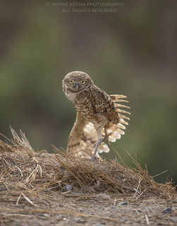 The expression and rear wing stretch by this burrowing owl looks like it is channeling it's inner Shaolin monk Kung Fu.