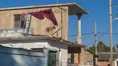 Roof dog. Barrio Subplanta, Santa Clara, Cuba 2018 (lezumbalaberenjena) Tags: sub subplanta planta santa clara villas villa 2018 lezumbalaberenjena barrio dog perro chien