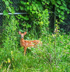 still has its spots (Dave_Bradley) Tags: deer outdoor nature olympus em5 pennsylvania usa fawn baby green fence