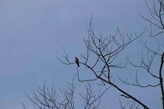 img_100-3872 (Mark Eichin) Tags: greatmeadowsnationalwildliferefuge kingbird concord massachusetts easternkingbird