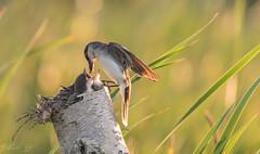 Dinnertime (Alexandre Légaré) Tags: tyrantritri easternkingbird tyrannustyrannus oiseau bird animal wildlife nature feeding nest nid young juveline nestling nikon d7500