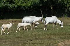 Arabian oryx (Tom Warne Photography) Tags: arabian oryx