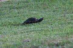 Mississippi Map Turtle; Laying Eggs, Photo # 4 (Arthur Windsor - Florida Wildlife) Tags: mapturtle southflorida yelloweyeturtle turtle reptile turtlenest palmbeachcounty mississippimapturtle