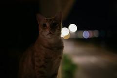 IMG_4497 Rubio, Mallorca (Fernando Sa Rapita) Tags: canon eos6d mallorca rubio sarapita animal cat gatito gato kitten mascota pet night noche bokeh canoneos
