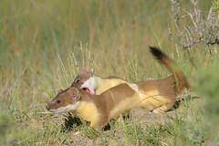 Weasels at Play (Amy Hudechek Photography) Tags: weasels play chase nature wildlife colorado june arapahoenationalwildliferefuge amyhudechek nikond500 nikon600mmf4 shorttailed
